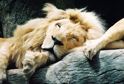 lo-vedove:  sleepy lion
