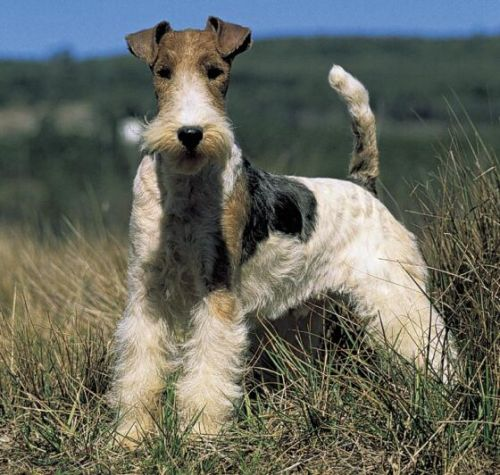 tailsandpaws:  Wire Fox Terrier
