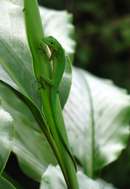 Anolis chloris El anolis verde de Boulenger, también llamado camaleón sudamericano gema del Chocó, es una lagartija endémica de las tierras bajas del Pacífico de Panamá, Colombia y Ecuador. The Boulenger's Green Anole, also called (in Spanish) the South American jewel of the Chocó, is a lizard endemic to the Pacific lowlands of Panamá, Colombia and Ecuador.