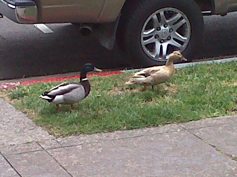I miss my UC Davis ducks