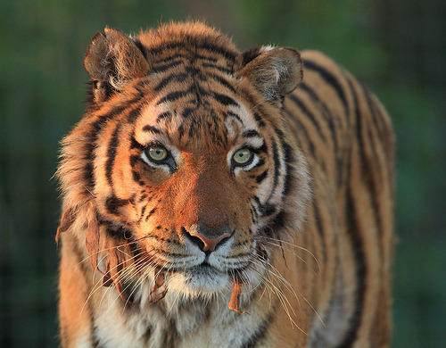 lovelybigcats:  Nina (by Mark Butcher)