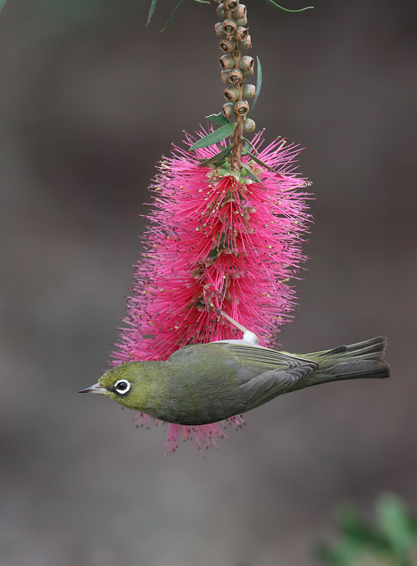 Shown here is a Silvereye bird on a Bottlebrush plant. Bottlebrush plants belong to the genus Callistermon, which is in the Melaleuca family. Members of this genus are native to Australia.