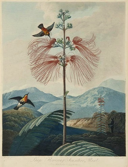 Robert John Thornton Large Flowering Sensitive Plant 19th century