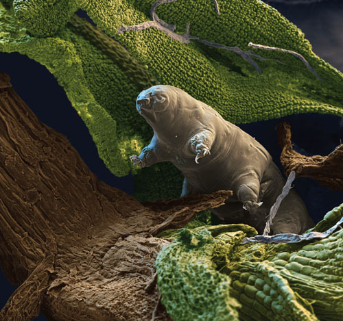 brilliantbotany:  You may have heard of tardigrades (here's an awesome video about them, if you haven't). One of these tiny organisms is shown here, on an electron micrograph, in its habitat, moss!