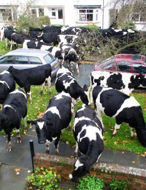 suddenly, cows  画