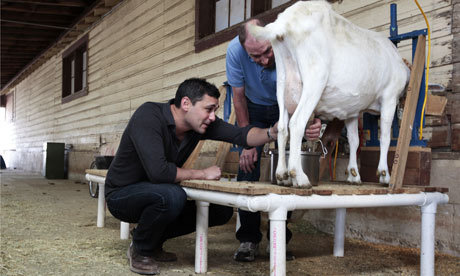 stay-human:  This goat produces spider silk. It has been engineered to do so. Read more about it here: The Guardian