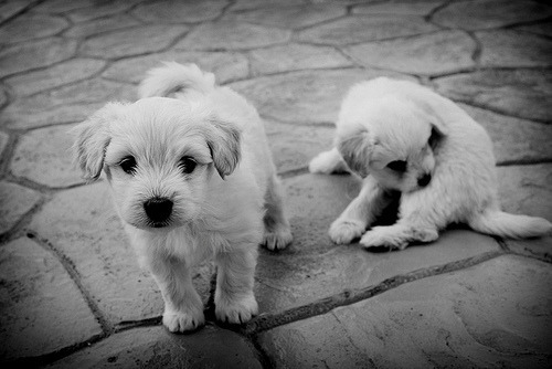 Black and white picture of two cute little white puppies in the street. One is sitting and cleaning him self and the other one is curious about the camera.