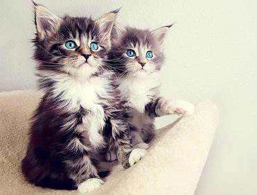 Two beautiful fluffy kittens with blue eyes are sitting on some cat thingy and staring at something.