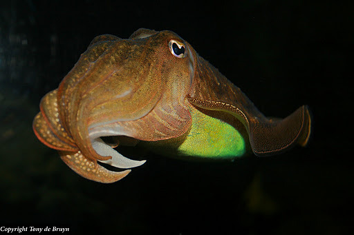Cuttlefish [Sepia officinalis] by Tony de Bryun