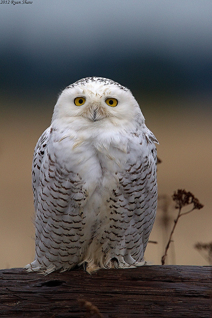 Snowy Owl (Bubo scandiacus) by *Ryan Shaw on Flickr.