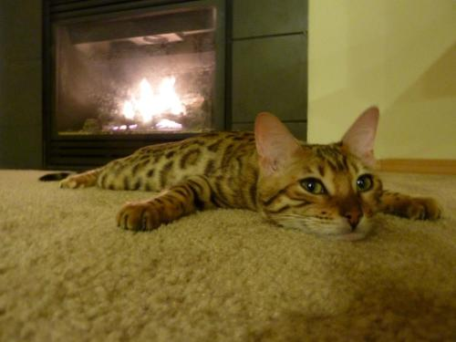 amnemonic:  Nikita, my bengal kitten, smiling by the fire… - Imgur