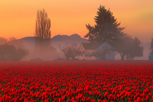 villere:  Skaget Valley Tulip Fields Foggy Farmhouse, Washington State (by Don Briggs)