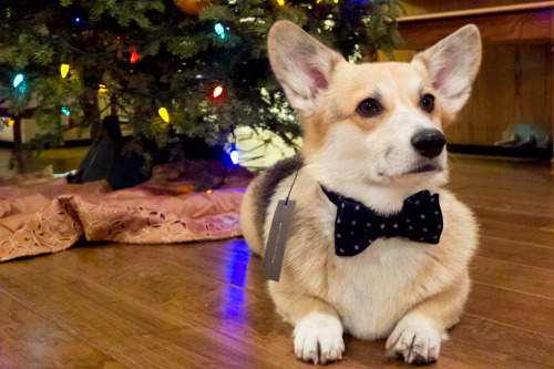 Dapper Corgi!