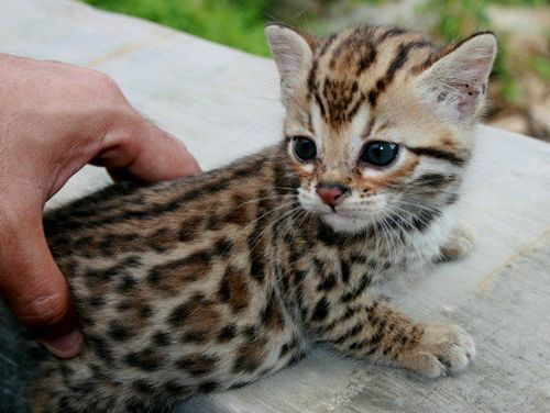 stellar-muse:  Hello little Bengal. You will be mine.