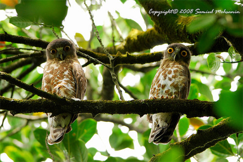 fat-birds:  Brown Hawk Owl (Ninox scutulata)… a pair by Samiul Mohsanin on Flickr. lmaoooooo look at the expression on the one to the right