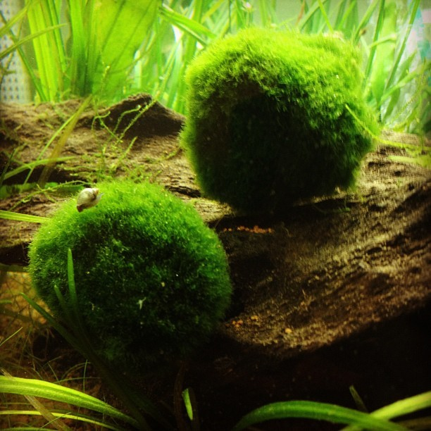 AIN'T NO PARTY LIKE A MOSS BALL PARTY! Just ask Dale the snail. (Taken with instagram)