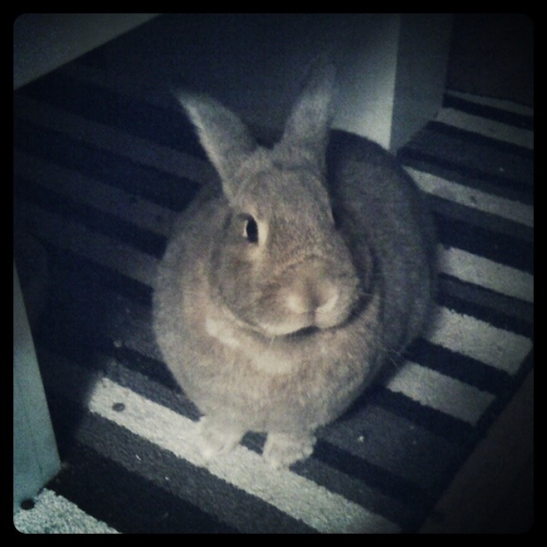 One of my many pets!  Wendell, my recently adopted rabbit.
