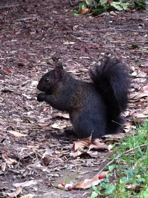 I like black squirrels.