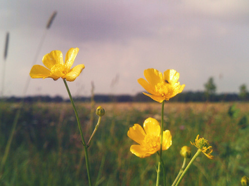 Buttercups on Flickr.