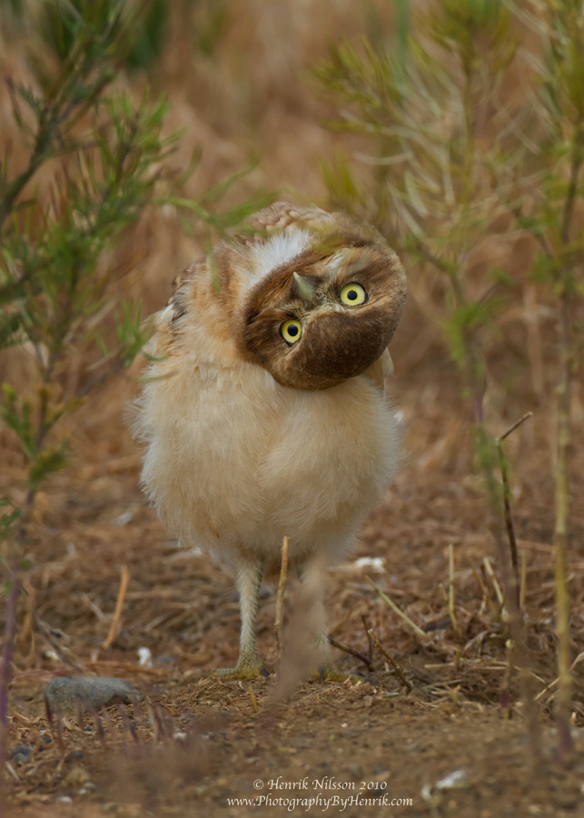Owls are flying cats. Judging your outfit. Photo by ©Henrik Nilsson