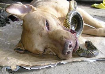 "pittbulllovepanic:  Pit Bull saves 2 women from deadly cobra,dies wagging his tail  GOOD DOG DOWN Four-year-old ""Chief"", an American Pit Bull Terrier, dashed in front of a venomous snake which was poised to strike at 87-year-old Liberata la Victoria and her granddaughter Maria Victoria. Shielding the women from the attack, Chief saved them but died minutes later from the snake's bite. dogsinthenews.com/stories/070301a.php/"