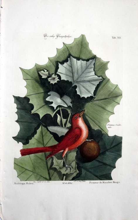 wallacegardens:  Mark Catesby (1700's), American Sycamore and Red Flycather.