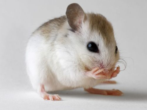 "Old Mice Made ""Young""—May Lead to Anti-Aging Treatments I've written before about anti-aging advances, so this shouldn't be shocking news for RCS regulars, but it is an example of what I've written before (e.g. here), namely, that we're getting closer to true anti-aging technologies and perhaps what DeGrey calls the ""longevity escape velocity,"" the point at which we can extend our lives long enough to keep extending it indefinitely with further advances (here).  As the article notes, it's too soon to know if this (and other) anti-aging techniques will prove useful for humans - but there's definitely a chance. Also, I was quite pleased to read that this was an advance in stem cell research, considering all the controversy and complaints about it. So, give it a bit of time. Major scientific advances don't happen overnight. It needs intelligent and devoted people, funding, and perhaps a bit of luck.  (Hat tip to ohyeahdevelopmentalbiology for the link.) RCS Highlights: Aging mice can be made ""young"" again, according to findings one scientist initially found unbelievable. The key is muscle-derived stem cells, which—like other stem cells—are unspecialized cells that can become any type of cell in the body. When injected with muscle stem cells from young mice, older mice with a condition that causes them to age rapidly saw a threefold increase in their life spans, said study co-author Johnny Huard, a stem-cell expert at the McGowan Institute for Regenerative Medicine in Pittsburgh. Curious if these deficient stem cells contribute to aging, Huard and colleagues injected stem cells from young, healthy mice into the fast-aging mice about four days before the older animals were expected to die. To Huard's astonishment, the treated mice lived an average of 71 days—50 more than expected, and the equivalent of an 80-year-old human living to be 200, he said. Not only did the animals live longer, they also seemed healthier, the scientists found. The ""drastic"" results bore out with repeated experiments, leaving the scientists to wonder how exactly the stem cells were working their magic, Huard said… The scientists went back to the lab to test another idea: that stem cells secrete some kind of mysterious anti-aging substance. The team put stem cells from the fast-aging mice on one side of a flask and stem cells from normal, young mice on the other side. The two sides were separated by a membrane that prevented the cells from touching. Within days, the aging stem cells began acting ""younger""—in other words, they began dividing more quickly. ""We can conclude that probably normal stem cells secrete something we don't know that seems to improve the defects in those aging stem cells,"" Huard said. ""If we can identify that, we have found an anti-aging protein that is going to be important"" for people, said Huard… But other scientists are cautious about how soon the discovery may help people delay the aging process or treat age-related disease… Paul Frenette, a stem cell and aging expert at the Albert Einstein College of Medicine in New York, called the research ""intriguing,"" but said one of the messages for ""patients is not to get too excited."" ""You see all these clinics that are popping up all over the world—even in New York—where they're injecting stem cells"" into people to treat disease, even though such therapies have not been proven… Huard could imagine a scenario in which some of a person's stem cells are harvested at about age 20 and then injected back into his or her body at around age 50 or 55. Stem cell therapies do already exist for conditions such as incontinence and heart problems, so he thinks ""we're not that far [from applying] this approach clinically down the road."" But Huard warned that such a treatment would not mean a 55-year-old will suddenly look and feel 25 again. ""The goal of doing this research is not to [be like a] movie star with a ton of money [who wants to] look great for the rest of their lives,"" he said. ""The goal is, if you delay aging, maybe you can delay Alzheimer's or cardiovascular problems."" In other words, he said, such stem cell treatments would help people ""age well."" P.s. A follow-up on why I'm excited - and not scared - about this research. Here."