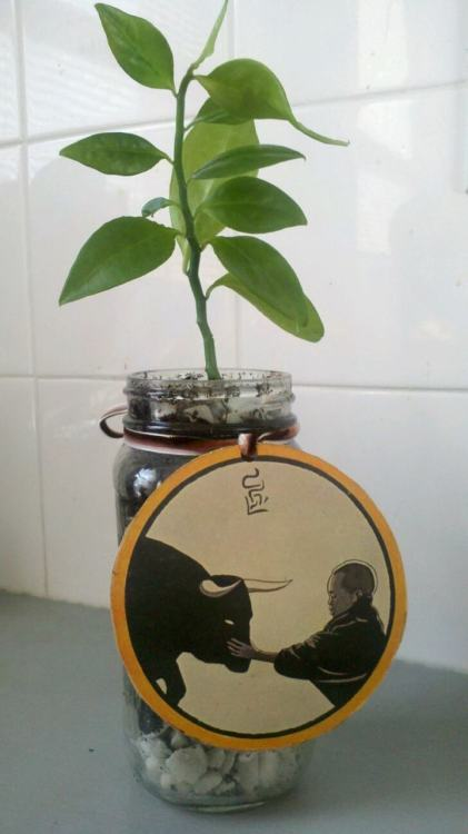 Bird of Paradise potted in a recycled mason (Classico Pasta Sauce) jar.