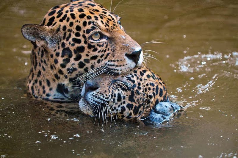 llbwwb:  Tender Leopard Love by Gatos e Trapos