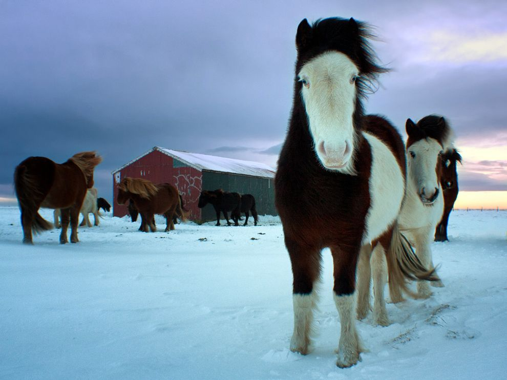 nationalgeographicdaily:  Horses, IcelandPhoto: Marketa Kalvachova Icelandic horses are out all year, even through the winter. I captured these in-foal mares in southern Iceland in December 2011.