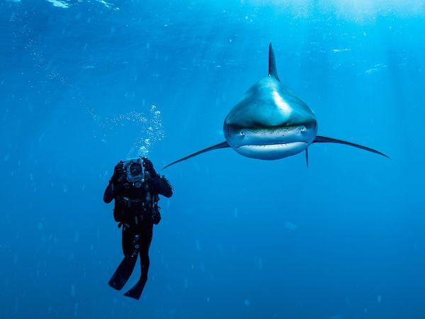 Oceanic Whitetip Shark, BahamasPhoto: Brian Skerry Oceanic whitetip shark and diver in the Bahamas.
