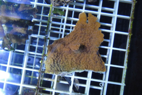 tumblr lxx6ts5dNc1r96y37o1 500 - Zoa Frags For Trade....