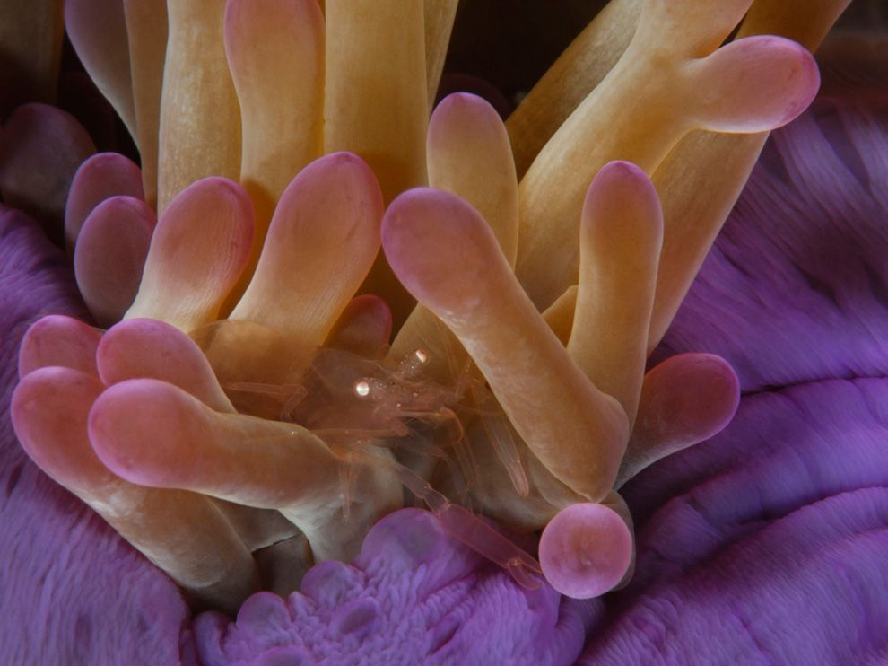 Shrimp, Kingman ReefPhoto: Brian Skerry Translucent shrimp on anemones, Kingman Reef, 2007