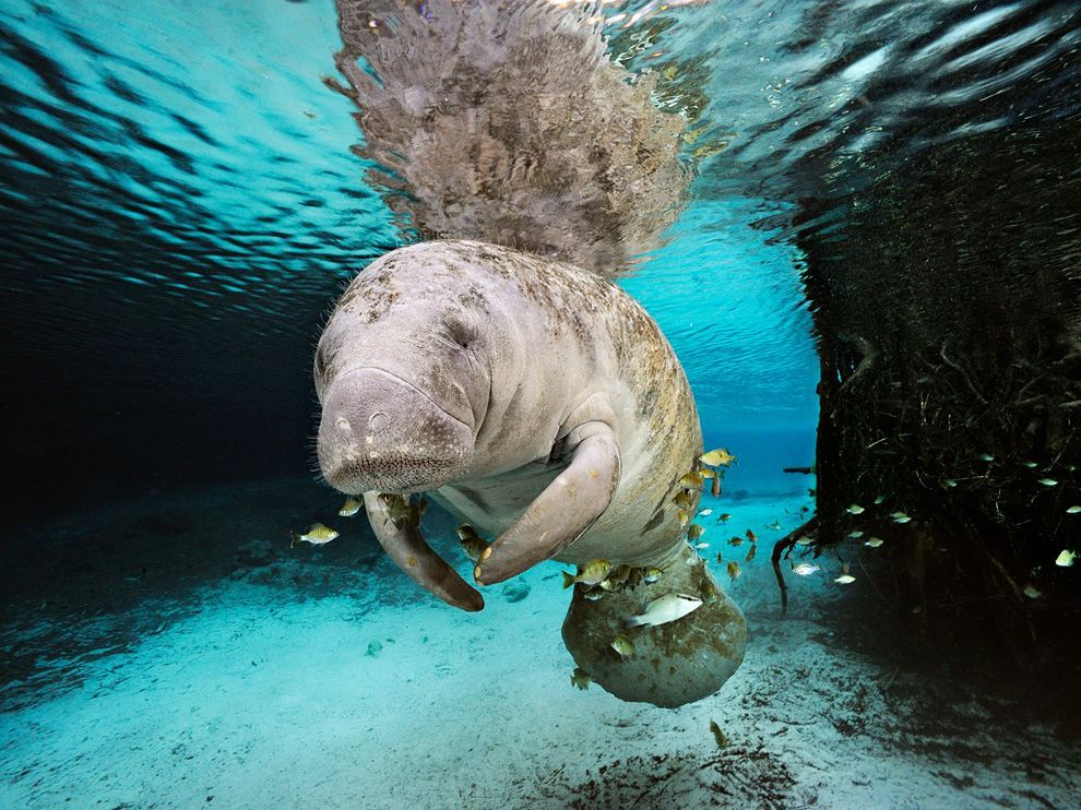 Manatee, FloridaPhoto: Brian Skerry A manatee swims in a freshwater spring in Crystal River, Florida. Manatees struggle for survival as the result of a gantlet of threats, from watercraft strikes to toxins in the water. The most serious threat, however, is the loss of warm water due to the habitat loss.