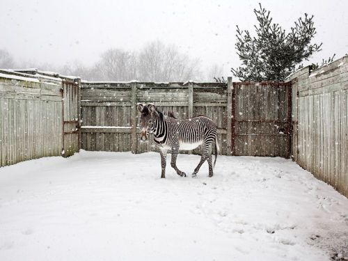 Grevy's Zebra, OhioPhoto: Matt Eich Stripes and flakes share space at the Wilds, a refuse for rare and endangered species. Here, a three-year old Grevy's zebra named Elvis stompls in the winter pen, which adjoins heated indoor quarters.