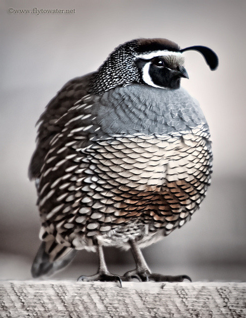 Oil Paint Effect - California Valley Quail by Fly to Water on Flickr.