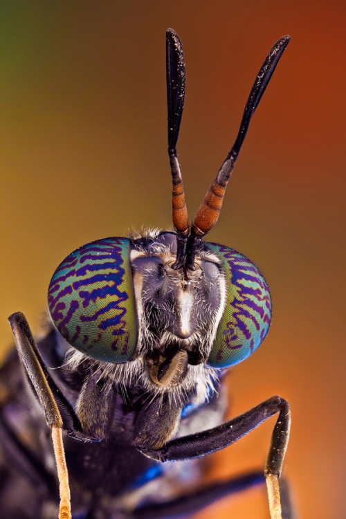 "ex0skeletal:  (via 500px / Photo ""Soldier fly"" by Javier Torrent)"