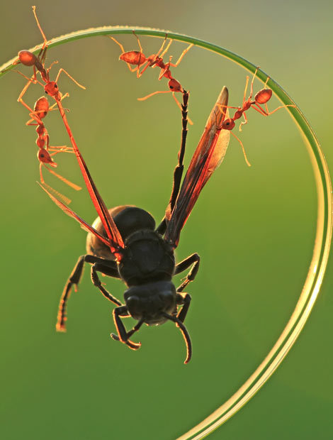 "allcreatures:  A wasp looks like it is doing a daring trapeze act while being dangled from a blade of grass by four red ants. The insects lifted the wasp by his wings as they carried him back to their nest. Photographer Uda Dennie captured the team work outside his home in Batam Island, Indonesia. He said: ""I love taking close-up photos of insects because it reveals things you rarely see. I went outside to look for insects and found these ants working together to carry the dead wasp back to their nest."" Picture: Uda Dennie/solent"