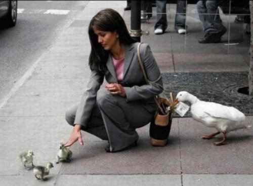 Lady Falls for Duck Con   They've moved on from stale bread to stolen bread.