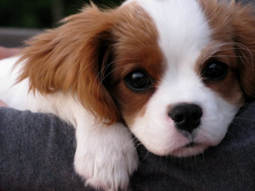 I want a little Cavellier pup!!