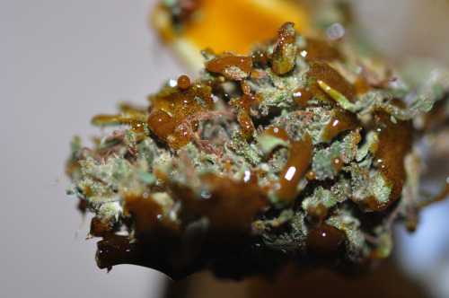 Hashy-Nug.  ConnOriginal