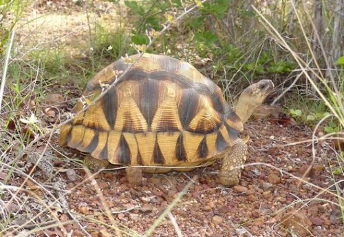 "Video: Saving the Plowshare Tortoise  This week in the magazine, William Finnegan travels to Madagascar  with Eric Goode [sub. req.], a Manhattan night-life baron ""who tramps through  mountains looking for turtles, tortoises, snakes, lizards, frogs,  crocodilians,"" Finnegan writes. In this video, Goode seeks out the world's rarest turtle, the  plowshare tortoise. While trying to help save it from extinction, he  travels to a wildlife conservatory and finds himself in a high-risk  negotiation with local smugglers."