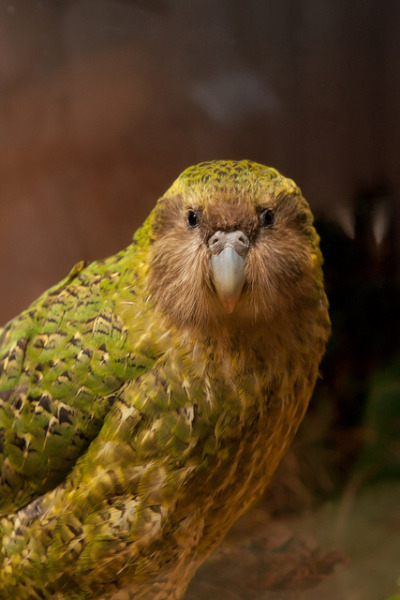 fairy-wren:  kakapo photo by zealandia