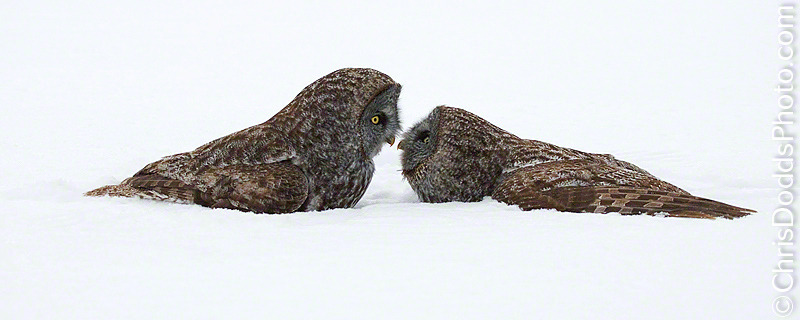 """Oh hai! Do you have any…hmmm… mice? No? How about a date?""Owls are flying cats.  Photo by ©Christopher Dodds"