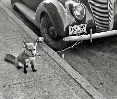 librar-y:   October 1940. Moorhead, Minnesota. Fox chained to automobile.