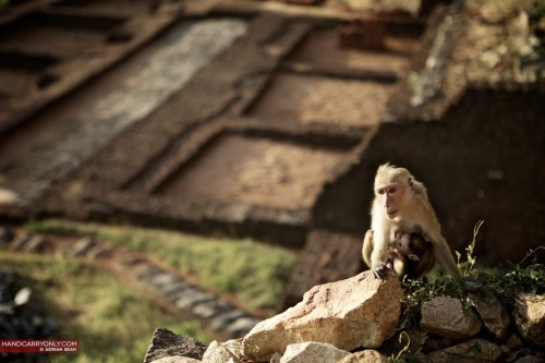 Monkeys on Sigiriya Rock