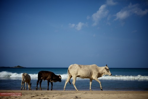 Cows on the beach, Trincomalee