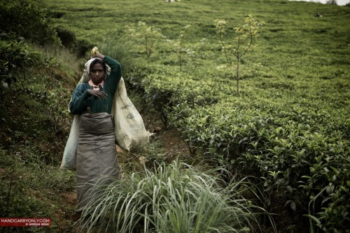 Tea picker, Nuwara Eliya