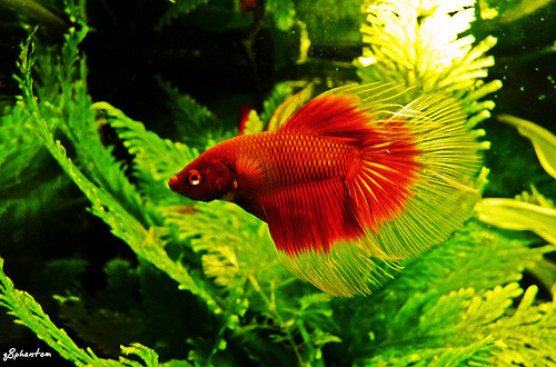 Half-Moon Betta | Betta splendens (by q8phantom)