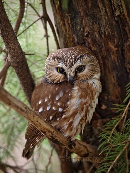 joe65:  Northern Saw-Whet Owl